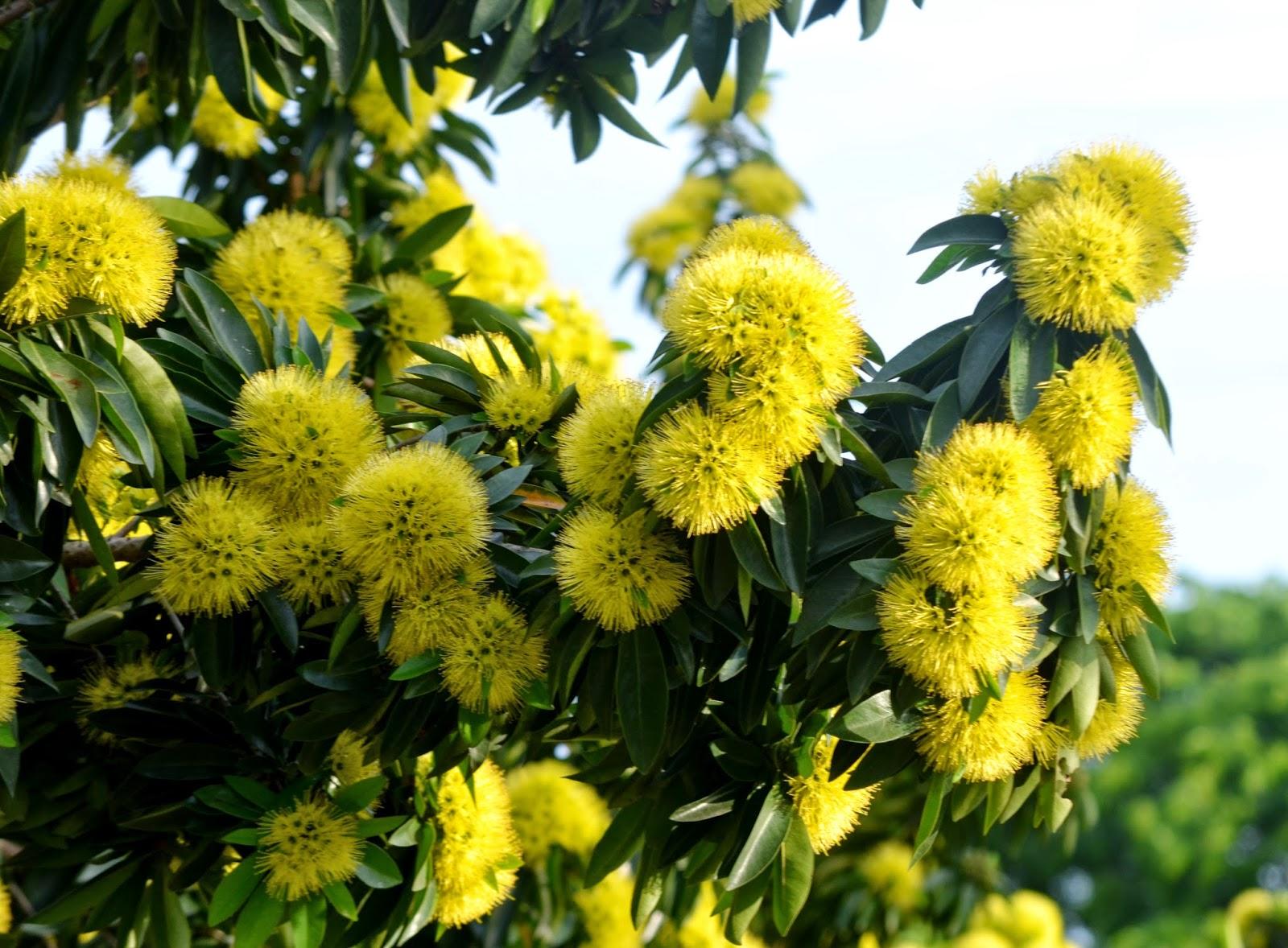 Flowers of the Golden Penda Plant