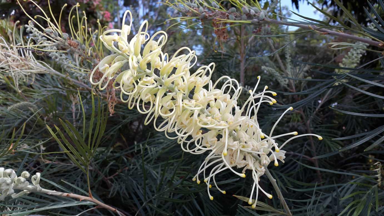 Australian native flower of Moonlight Grevillea