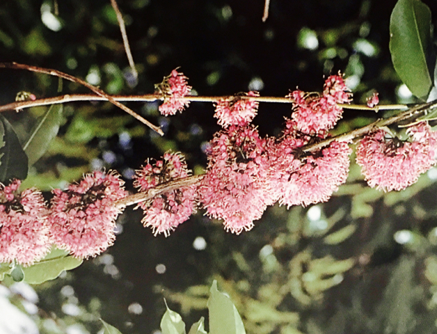 Pink Melicope Flowers