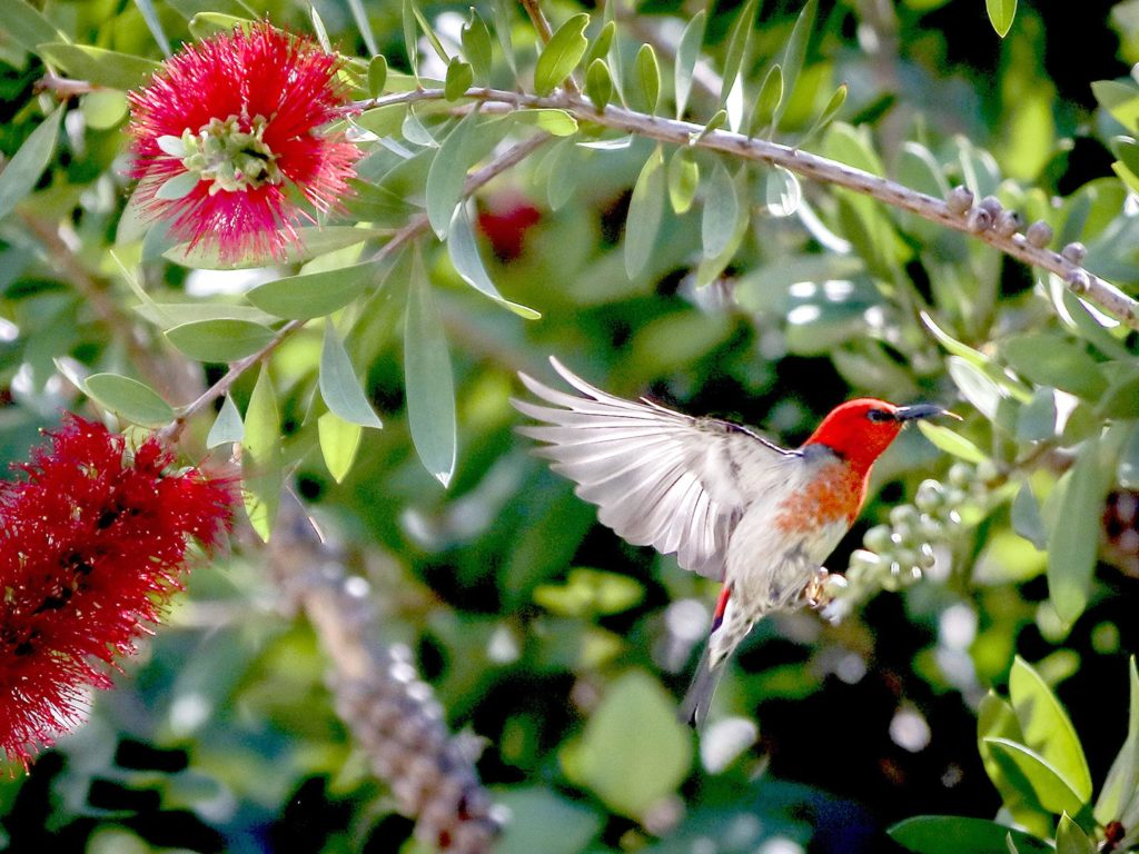 bird attracting australian natives
