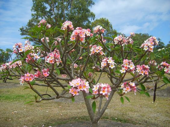 Frangipani – a flowering favourite