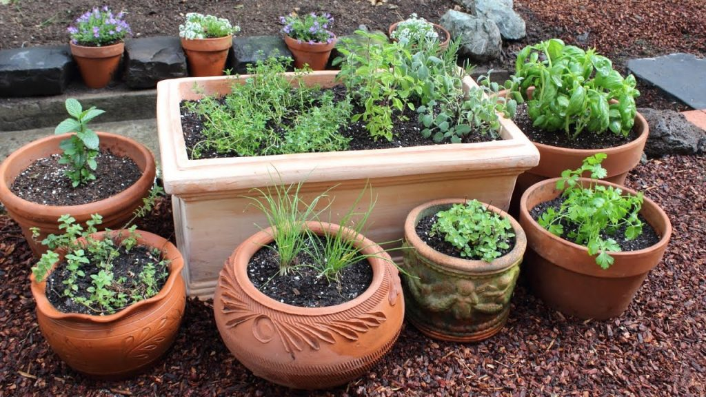 Growing Herbs in Queensland