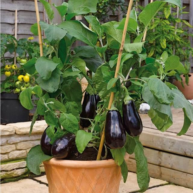 Eggplant pot