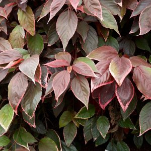 Acalypha Inferno Plants Whitsunday North Queensland Wholesale Nursery