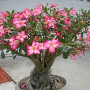 Adenium Desert Rose Plants Whitsunday North Queensland Wholesale Nursery