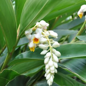 Alpinia Zerumbet Shell Ginger Plants Whitsunday North Queensland Wholesale Nursery