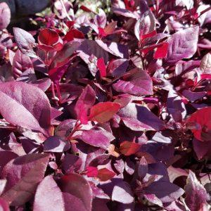 Alternanthera Little Ruby Alternanthera dentata Plants Whitsunday North Queensland Wholesale Nursery