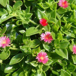 Mesembryanthemum cordifolium Aptenia Cordiflora Baby Sun Rose Plants Whitsunday North Queensland Wholesale Nursery
