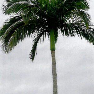 Archontophoenix cunninghamiana King Palm Bangalow Palm Illawara Palm Plants Whitsunday North Queensland Wholesale Nursery