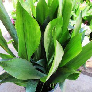Aspidistra Elatior Cast Iron Plant Plants Whitsunday North Queensland Wholesale Nursery