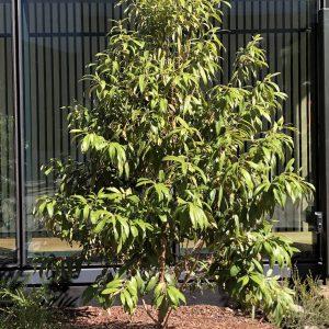Backhousia citriodora Lemon myrtle Plants Whitsunday North Queensland Wholesale Nursery