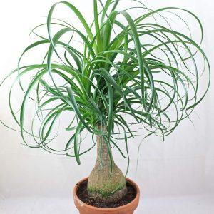 Bebaucarnea Ponytail Palm Plants Whitsunday North Queensland Wholesale Nursery