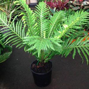 Blechnum gibbum Blechnum Silver Lady Fern Plants Whitsunday North Queensland Wholesale Nursery