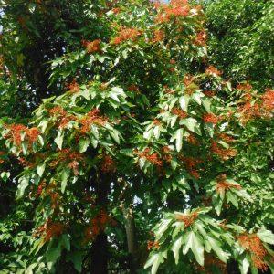Brachychiton acerifolius Illawarra Flame Tree Plants Whitsunday North Queensland Wholesale Nursery