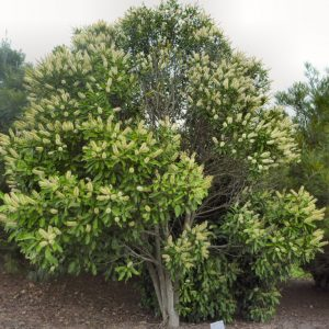 Buckinghamia Celsis Ivory Curl Tree Plants Whitsunday North Queensland Wholesale Nursery sima