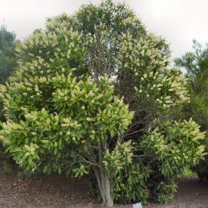 Buckinghamia Celsis Ivory Curl Tree Plants Whitsunday North Queensland Wholesale Nursery sima