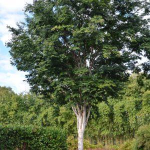 Caesalpinia ferrea Leopard Tree Plants Whitsunday North Queensland Wholesale Nursery