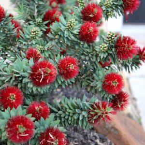 Callistemon Little John Plants Whitsunday North Queensland Wholesale Nursery