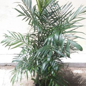 Chamaedorea seifrizii Bamboo Palm Plants Whitsunday North Queensland Wholesale Nursery