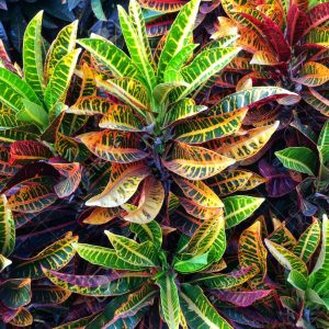 Croton Plants Whitsunday North Queensland Wholesale Nursery