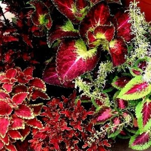 Coleus Plectranthus scutellarioides Plants Whitsunday North Queensland Wholesale Nursery