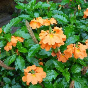 Crossandra Fireglow Plants Whitsunday North Queensland Wholesale Nursery