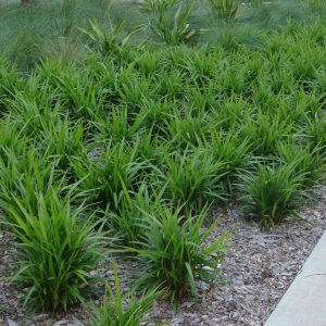 Dianella Caerulea Blue Flax Lily Plants Whitsunday North Queensland Wholesale Nursery