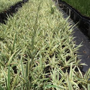 Dianella Silver Streak Flax Lily Plants Whitsunday North Queensland Wholesale Nursery