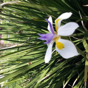Dietes Grandiflora Fairy Iris Plants Whitsunday North Queensland Wholesale Nursery