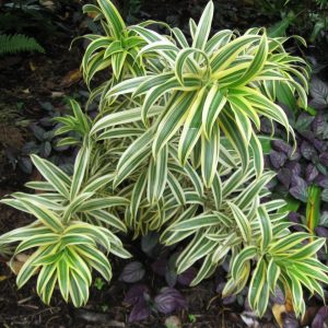 Dracaena reflexa Song of India Plants Whitsunday North Queensland Wholesale Nursery