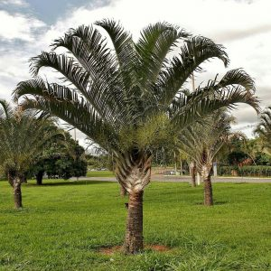 Dypsis Decaryi Triangle Palm Plants Whitsunday North Queensland Wholesale Nursery