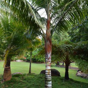 Dypsis leptocheilos Redneck Palm Plants Whitsunday North Queensland Wholesale Nursery